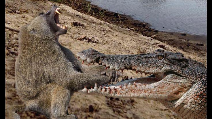 Babuino Vs cocodrilo contra el león Vs Anaconda Amazing Animales