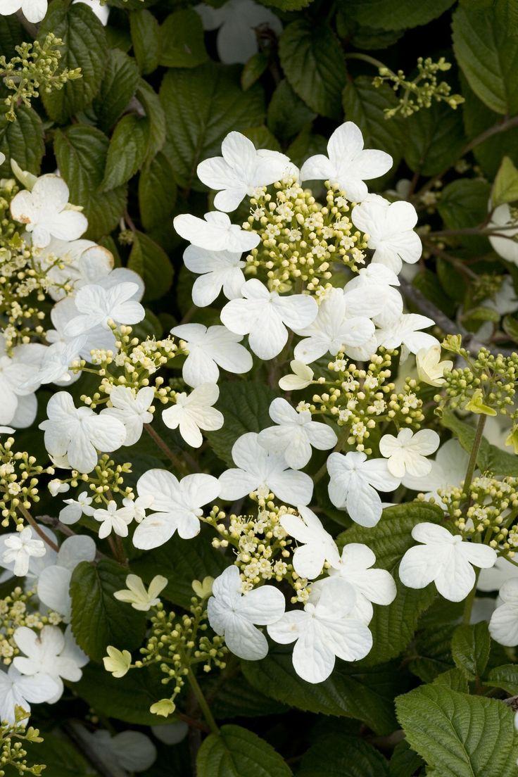 Summer Snowflake Viburnum, echoes the shape of the climbing hydrangea vine and the Kousa dogwood.