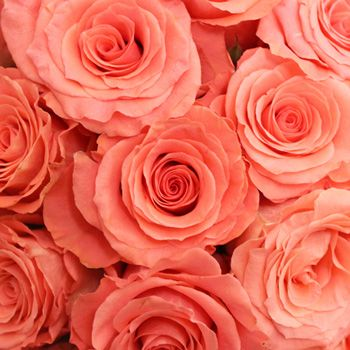 Amsterdam Hot Coral Pink Rose Buy our Amsterdam Hot Coral Pink Rose at wholesale prices! This coral pink rose has a large head that opens into a blazing full bloom with rolling ruffled petals.