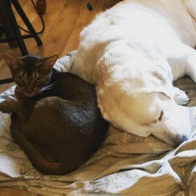 Друзья. #Фил #Марти #лаб #лаброморда #лабрадор #лабрадорретривер #собаки #собака #labs #Labrador #labradorsofinstagram #dog #dogs #labr  #абиссин #абиссинскаяморда #cats #cat #abyssiniancat #abyssinian #Мимими