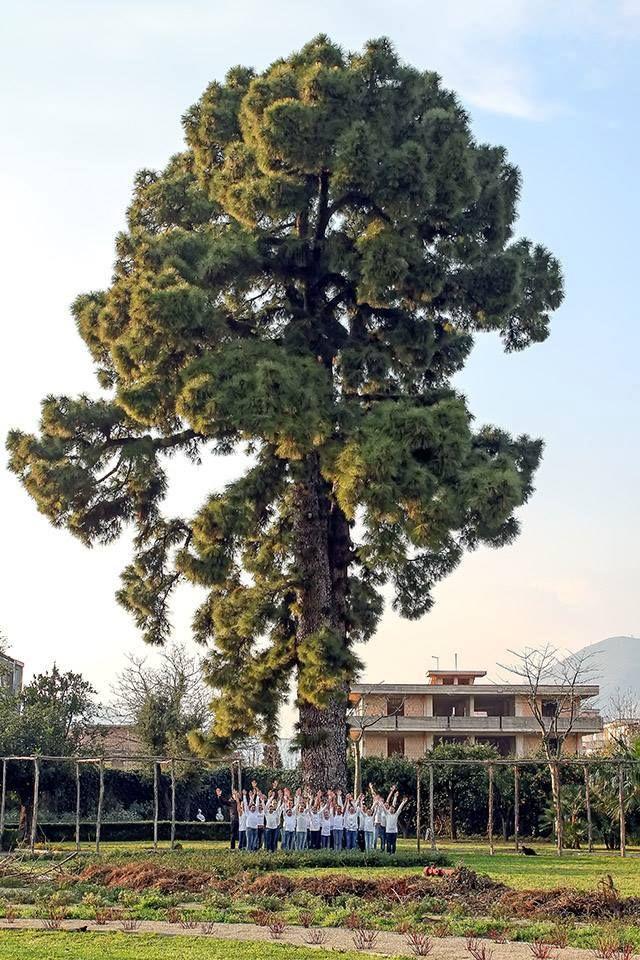 Questo invece è il più bello d'Italia e si trova a Roccapiemonte (SA).  Il Pino delle Canarie della storica Villa Ravaschieri mette in fila 148 concorrenti. Risale al 1650, è portatore di tre aghi e può sfiorare un'altezza di circa 25 metri.