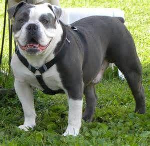 Blue-Olde-English-Bulldogge