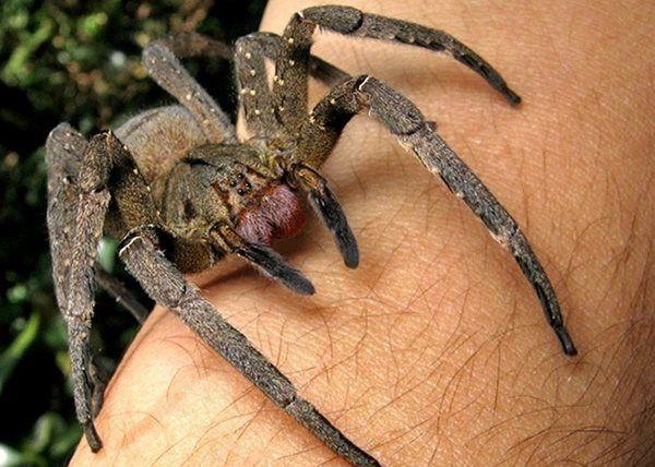 Aranhas-armadeiras . As armadeiras são consideras as aranhas mais venenosas e fatais do planeta segundo o Guiness Book. E, infelizmente, são extremamente comuns em todo território brasileiro. Elas têm em média um corpo de 5 centímetros e patas de até 17 centímetros, carregando doses de veneno extremamente fatais (para se ter noção, somente 0,006 mg é suficiente para matar um rato).É a segunda aranha que mais causa acidentes no Brasil, atrás apenas das aranhas-marrons .