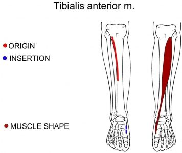 Tibialis Anterior Muscle: Big Toe, Ankle, Shin Pain