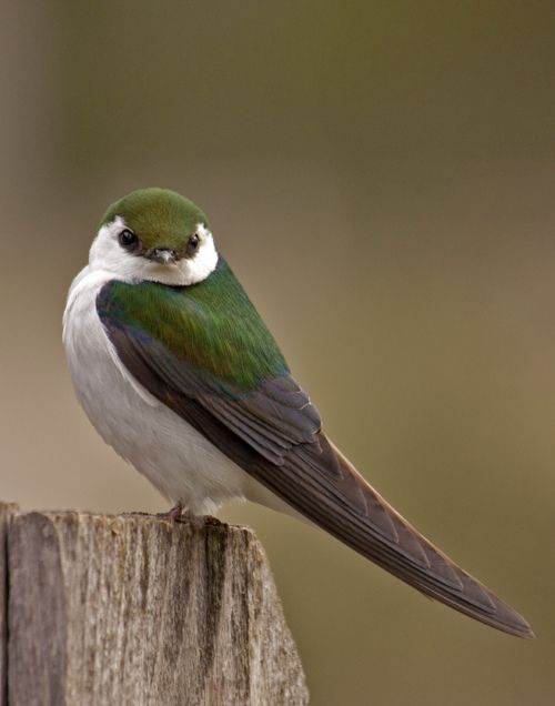 #240 Violet-green Swallow