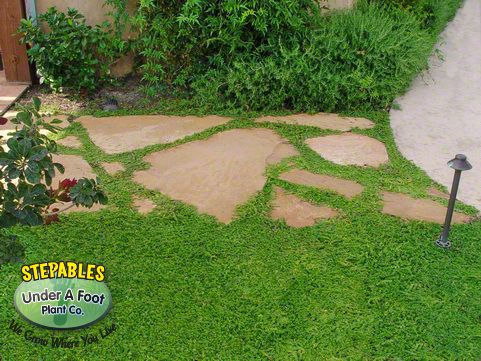 Herniaria glabra Green Carpet rupture wort - dog friendly/drought tolerant grass substitute.