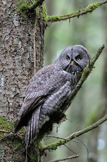 Great Gray Owl. Remember Earth Day and dissecting owl pellets and finding small rodent skulls and bones?