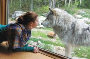 International Wolf Center in Ely, MN - someplace to check out when in Ely