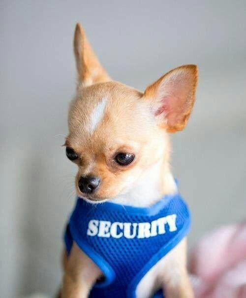 I've got one like this, and yes he thinks he's tough enough to protect me.