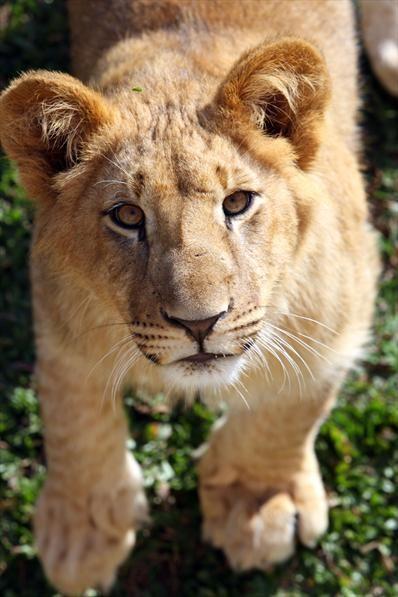 Filhote de leão no Zoológico de Curitiba, 09/07/2007 Foto: Maurílio Cheli/SMCS