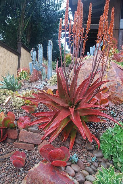 Red Aloe in Encinitas Garden | Flickr - Photo Sharing!