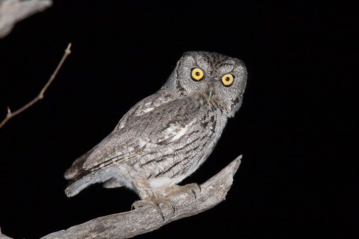 Western Screech Owl (Megascops kennicottii). Photo by Greg Lasley.