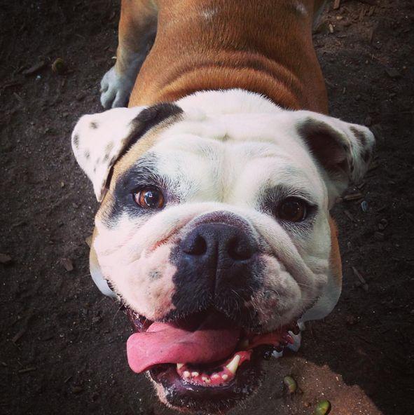 Cutie pie at Manayunk Dog Park at Pretzel Park - Philadelphia, PA - Angus Off-Leash #dogs #puppies #cutedogs #dogparks #philadelphia #pennsylvania #angusoffleash