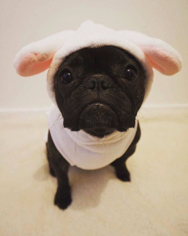 "633 Likes, 29 Comments - Pets at Home (@petsathomeuk) on Instagram: ""Who's looking forward to Easter? 😍  #dog #petsathome #pug #dogsofinstagram #pugsofinstagram"""