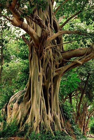 Sacred fig tree