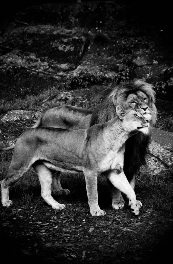 lion love-: Snooty Lovers!