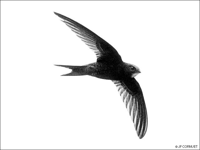 Commonswift, Mauersegler, Apus apus, Martinet noir, Gierzwaluw, Swift pictures, Vencejo comun, chernyi strizh, Mauersegler Fotos, Swift pictures, Bibliography, airstrokes