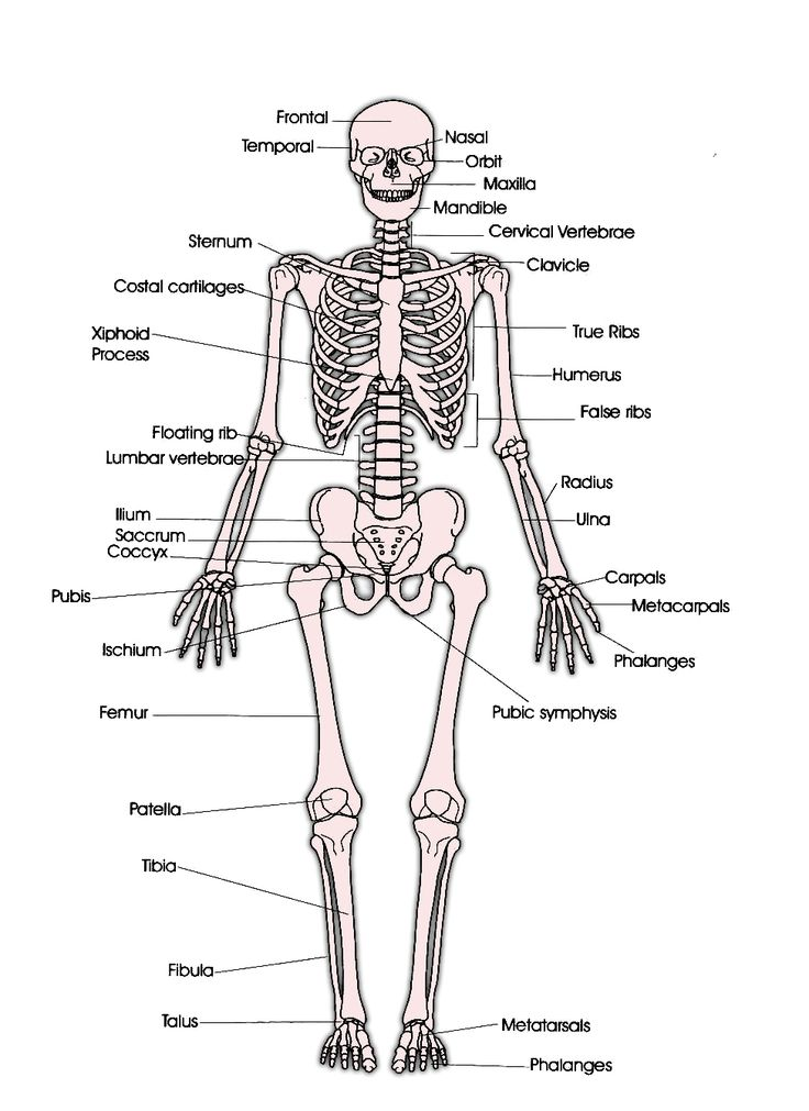 Oltre 25 fantastiche idee su Human skeleton labeled su Pinterest
