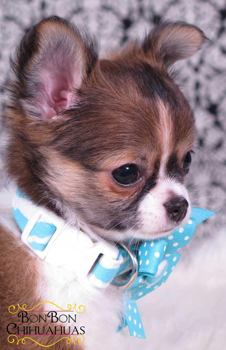 Cute animals for sale - The Highest Quality Chihuahua Puppies Healthy Happy And Litterbox Trained Long Hair Chihuahuachihuahua Puppies For Salecutest Animalsdog