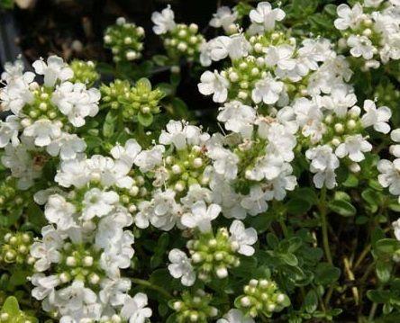 Thymus serpyllum 'Snowdrift'. Siertijm, blijft laag.