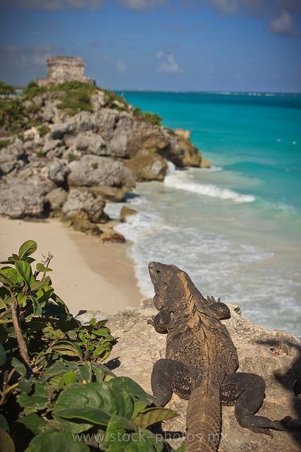Tulum, México: where iguanas rule! #Tulum #Mexico
