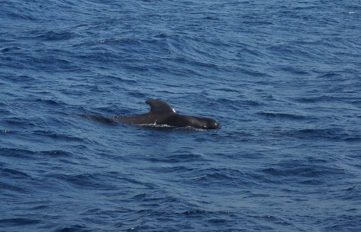 Whale (walvis) / Tenerife