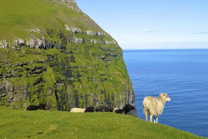 Fearless sheep and majestic cliffs near Gjógv, Eysturoy