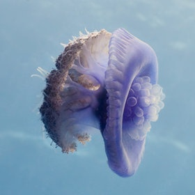 Würfelqualle | Box Jellyfish