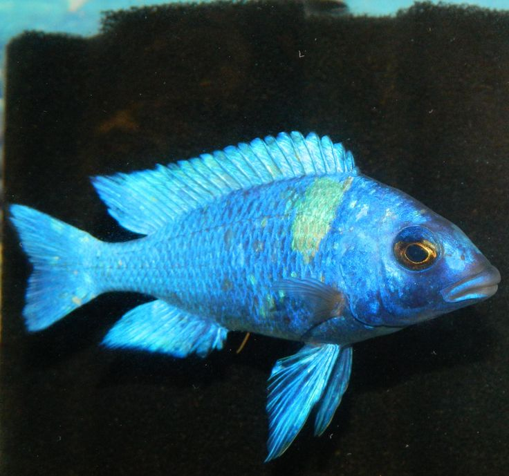 17 best images about rare african for Cichlid fish for sale