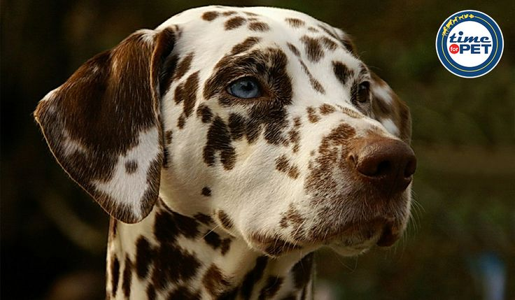 Did you know No two Dalmatian have the same number and pattern of spots- Your dalmatian`s coat is absolutely one-of- a-kind. #timeforpet #doglove #petfacts