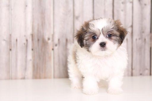 Zuchon puppy for sale in MOUNT VERNON, OH. ADN-28530 on PuppyFinder.com Gender: Male. Age: 8 Weeks Old