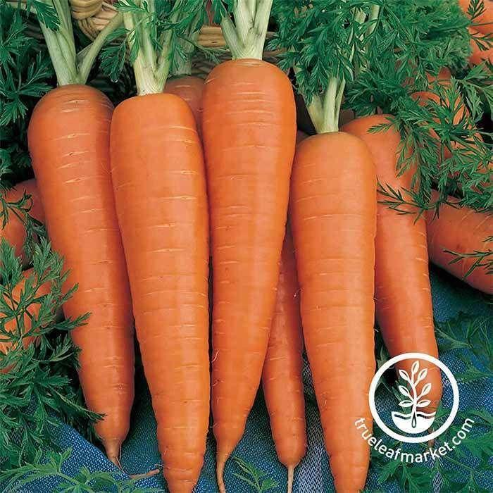 Carrot Seeds Danvers 126 In 2020 Carrots Carrot Seeds