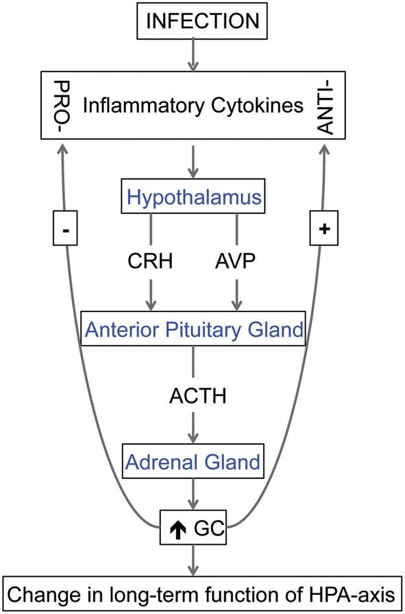 The relationship between cytokines and hypothalamic-pituitary-adrenal (HPA) axis. Cytokines, produced in response to an infection, can stimulate the release of corticotropin-releasing hormone (CRH) and arginine vasopressin (AVP) from the hypothalamus. These hormones stimulate the secretion of adrenocorticotrophic hormone (ACTH) from the anterior pituitary gland, and, in turn, the secretion of glucocorticoids (GC) from the adrenal cortex. During fetal life, excess GC can change the long-term…