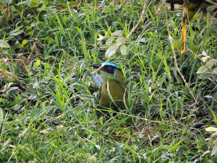Pájaro verde con cresta azul se, se confunde con el pastal. ¿Necesitas fotos como esta para el contenido de tu web? Visita: www.laweb.com.co/contenido-web/