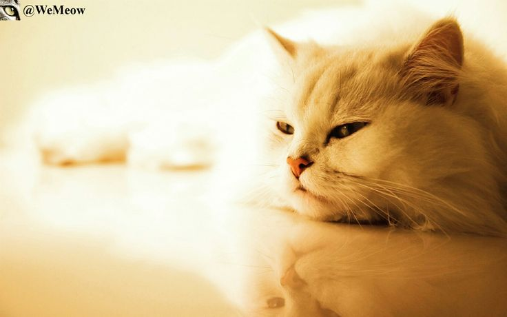 Fluffy Cat   https://www.youtube.com/c/WeMeow #cat #cats #wemeow #meow #catlife #cutecat #catlove #lovecats #gatos #gatti #koty #katze #chats #kitty #kitten #kittens #lovecat #funnycat #cateye #beautifulcat #nicecat #amazingcat #catlooking #catofinstagram #catsoftumblr #catstagram #instapets #instacat #pet #pets
