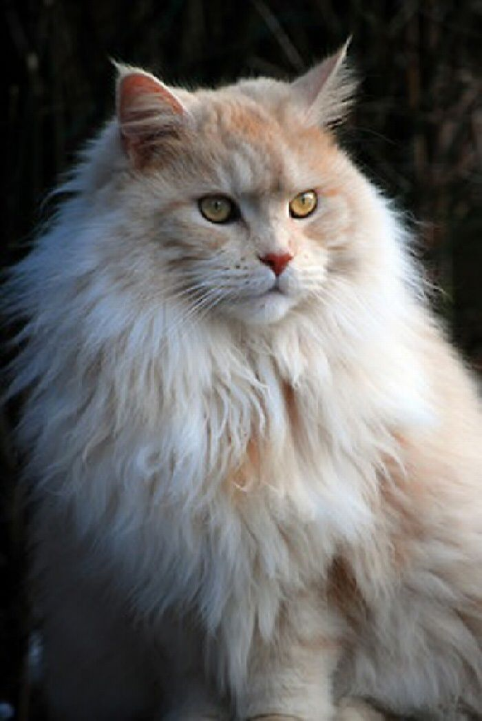 I ❤ kitties . . . Maine Coon cat . . . ❤ this breed, it is just gorgeous !!!