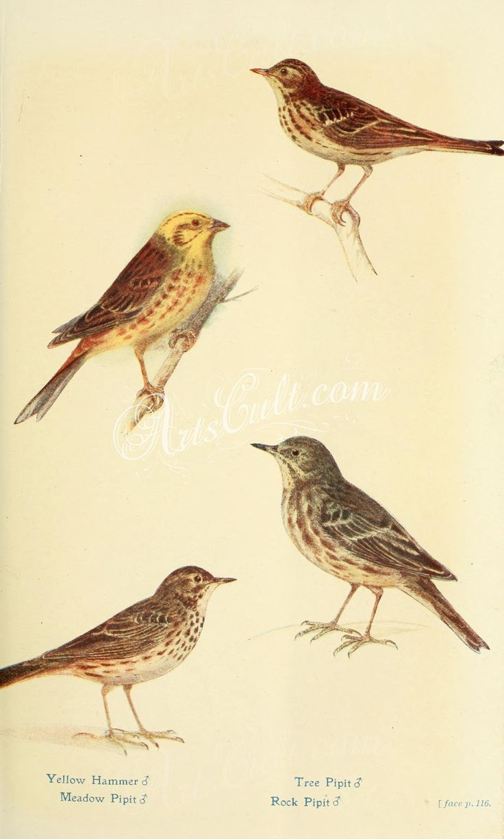 Yellow Hammer, Meadow Pipit, Tree Pipit, Rock Pipit      ...