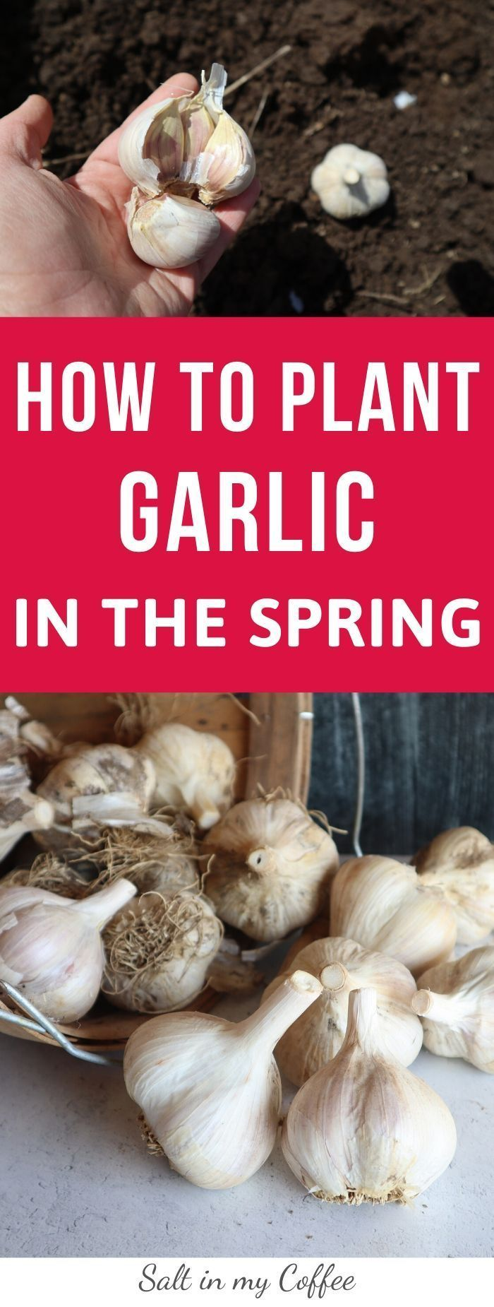 47+ Where to buy garlic for planting ideas