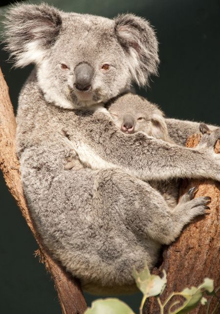 Koala mother with joey Photo by Roberto Portolese — National Geographic Your Shot
