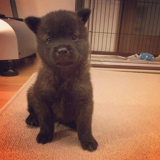 最近ね、おねいちゃんがおトイレの練習を頑張ろうねって言って、ぼく にとっても厳しいよ お部屋から出るときはおトイレをしてからじゃないと出してくれないの おねいちゃん怖いなぁって思うけど、おねいちゃんの言う通りにしたら、フローリングでおトイレをしなかったよ! ぼく も少しずつお兄ちゃんになれてるかな? . #甲斐犬 #日本犬 #子犬 #仔犬 #パピー #犬 #犬のいる暮らし #愛犬 #kaiken #kaidog #japanesedog #puppy #dog #dogs #lovedogs #dogslife #dogstagram  #puppystagram