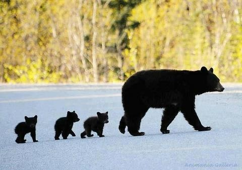 mamma bear and her babies