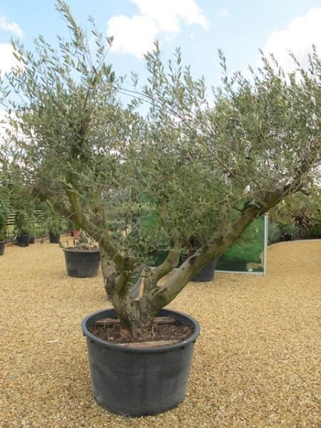 25 best ideas about arbequina olive tree on pinterest