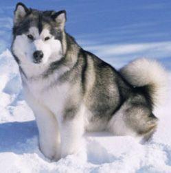 Good Alaskan Malamute Chubby Adorable Dog - 82d96bd78775d0a1b11e72e2241fa4e9--giant-alaskan-malamute-malamute-dog  Trends_145117  .jpg