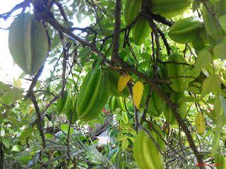 Carambols Averrhoa Carambola Starfruit benefits
