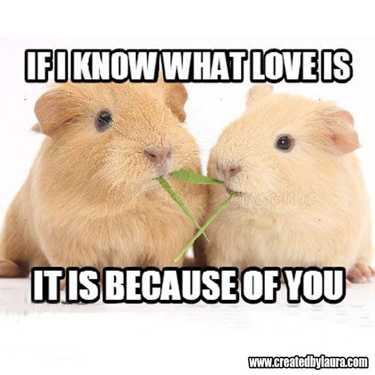 29 best Guinea pigs memes images on Pinterest | Conejillos de indias ...