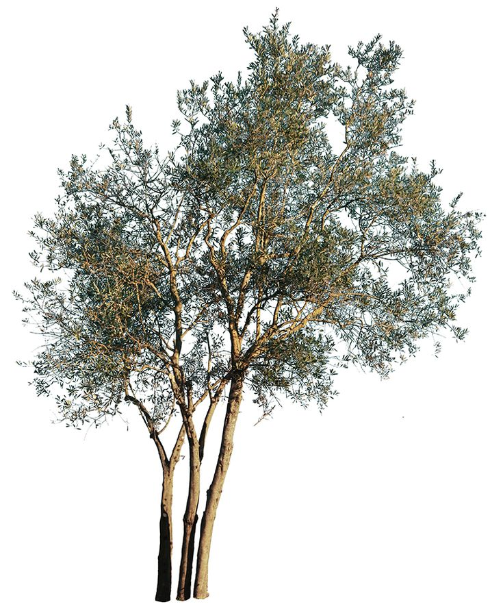 3403 x 4127 pixels image. Cut out photo with transparent background.  TIFF file, 29,3 MB, ready to download.   Olea europaea,  Olive tree; Olivier; Olivo; Oliveira.