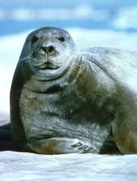 seal images - Google Search