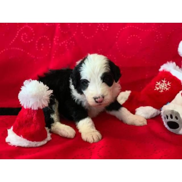 Shepadoodle Tulsa F1 Sheepadoodle Puppies For Sale About 6 Weeks