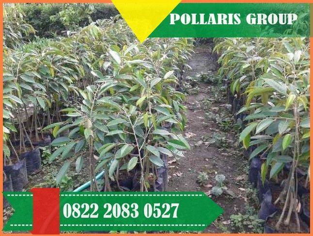 Kebun Durian Musang King Bogor