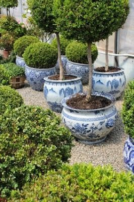 Boxwood in Blue, Beautiful Backyard.